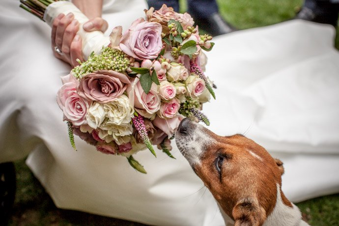 jack russell sniffing brides bouquet filled with roses