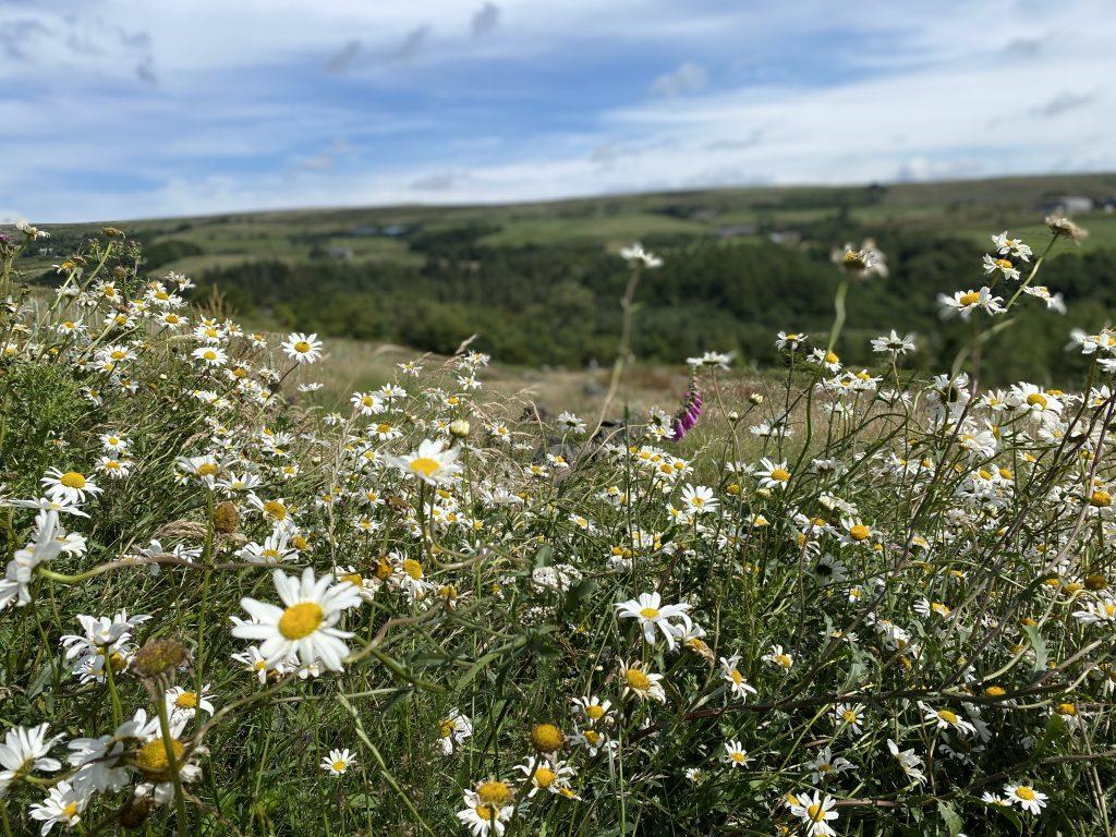 ox eye daisy meadow in summer