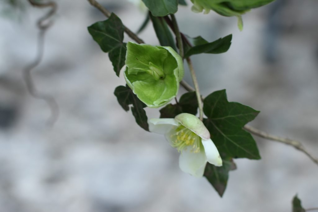 Ive and hellebore